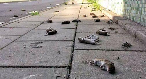 Topi morti nel vittoriese: non sono nemmeno le sostanze chimiche. Sembra essere un fenomeno naturale