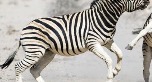 Polemica in Norvegia, zoo uccide zebra e la dà in pasto alle tigri davanti ai visitatori
