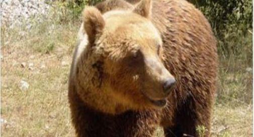 Aggredisce e ferisce un uomo, orso 'ricercato' in Trentino