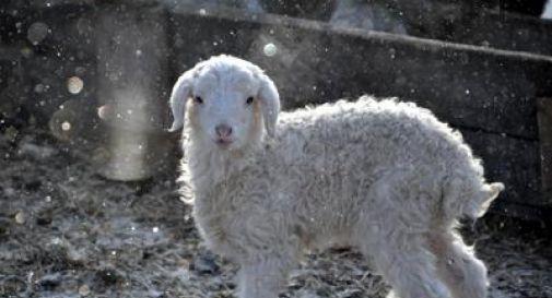 'Vi lessiamo le pecore coi geyser', i tifosi del Pescara dichiarano guerra all'Islanda