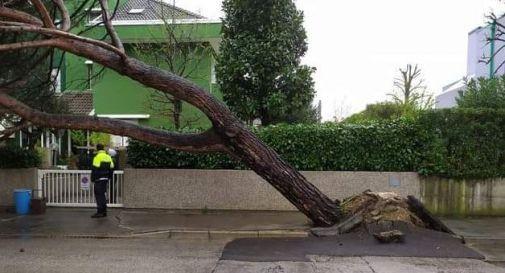 Il pino marittimo caduto in viale Nuova Europa