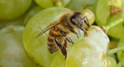 Con le api la qualità del vino migliora