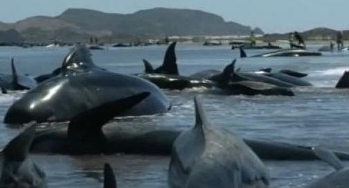 Balene spiaggiate in Nuova Zelanda, 103 sono morte. (VIDEO)