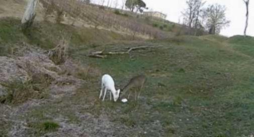 Bianchina, il capriolo albino di Conegliano, ha trovato il