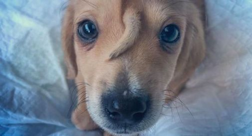 Abbandonato perché gli cresce una coda sulla fronte, il cucciolo è stato soccorso