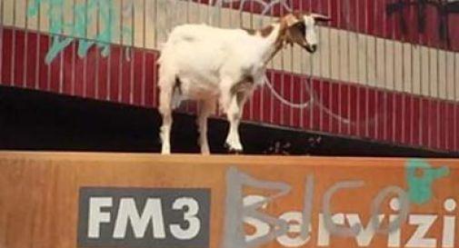 Una capra sul tetto della stazione Aurelia: salvata dai vigili del fuoco