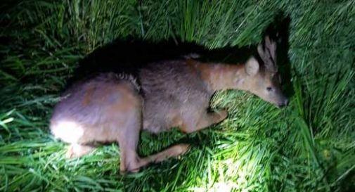 Bambi cade nel canale e non riesce a uscire, salvato dai pompieri