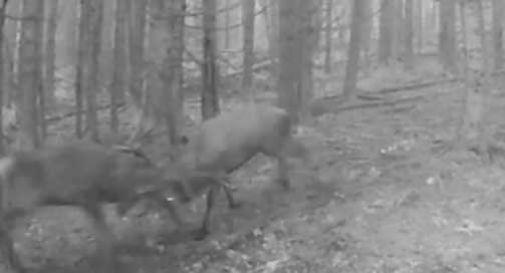 I cervi lottano e si prendono a cornate durante il periodo del bramito in Cansiglio, ecco il video