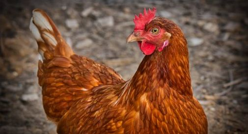 Torturano una gallina e postano il video shock su Instagram
