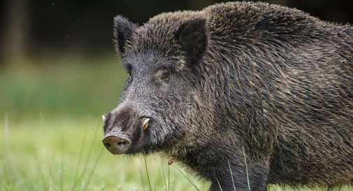 E' invasione di cinghiali nella Marca: un disastro per le attività agricole
