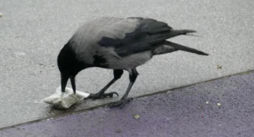 corvo scova una bustina di marijuana