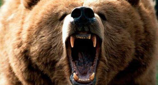 L'orso Genè torna all'attacco: manza sbranata
