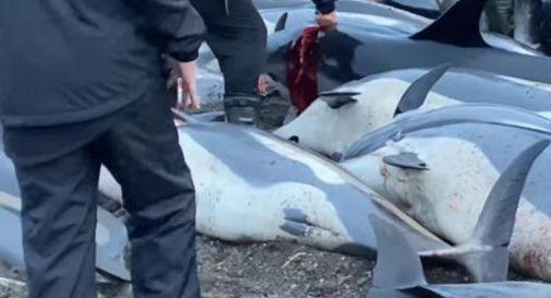 Far Oer, strage di delfini: la denuncia video