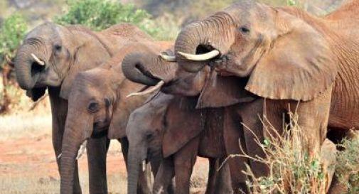 350 elefanti morti, strage misteriosa in Botswana