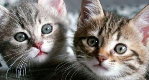 Gioca con il gatto via internet