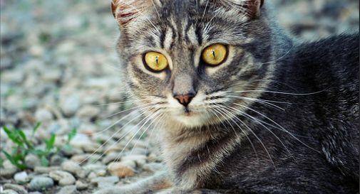 Coronavirus: a Vo' partano i test sui gatti per trovare gli anticorpi