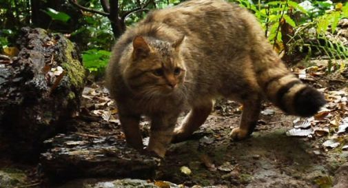Abbatte un raro esemplare di gatto selvatico: denunciato un cacciatore