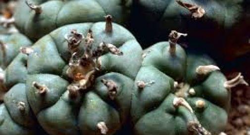 Sequestrate 600 piante di Peyote e altre 1700 cactacee