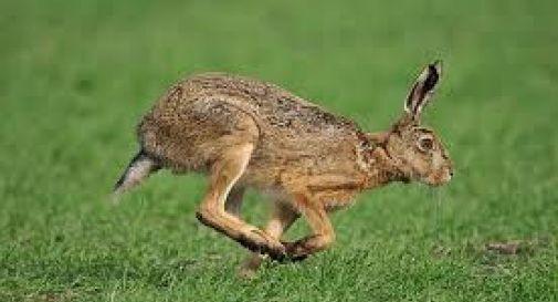 Strage di lepri nel Piave, i cacciatori hanno sfruttato la piena dei giorni scorsi