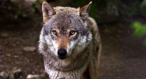Occhio ai lupi sul Pizzoc