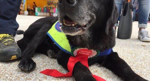 Lady, la bisnonna labrador, premiata per il suo impegno nel salvare vite umane