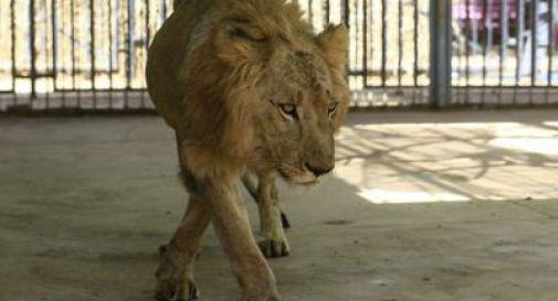 Leoni denutriti nello zoo