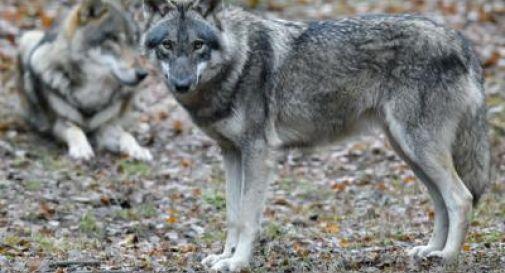 Sempre più lupi in Veneto