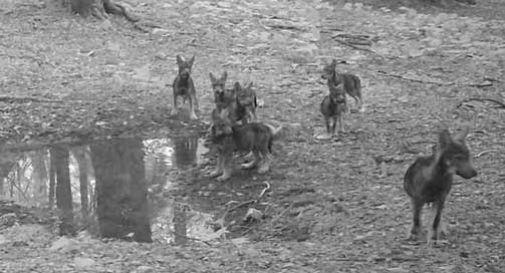 Cansiglio, sono nati sette nuovi lupi in Cansiglio: ecco il video