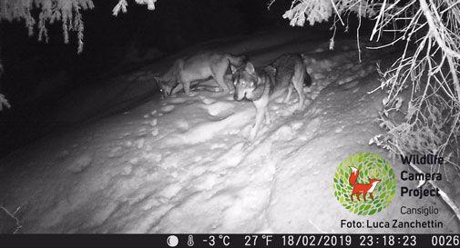Ecco i lupi, immortalati dalle fototrappole in Cansiglio (VIDEO)