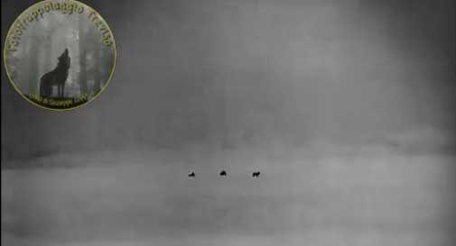 Branco di lupi avvistato dal vivo in Cansiglio: ecco il video