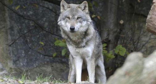 lupi uccisi in veneto