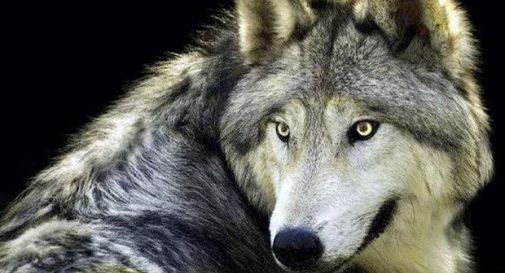 Triplicata la presenza dei lupi sulle Alpi in tre anni
