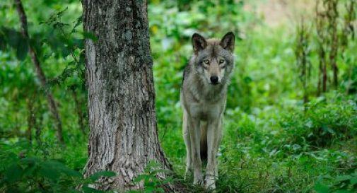 Sorpresa a Codognè, avvistato un lupo mentre corre in mezzo ai campi (Video)