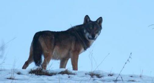 Dopo un secolo torna il lupo sui monti vicentini, ecco lo scatto
