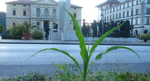 Nelle aiuole comunali di Vittorio Veneto spunta anche il mais