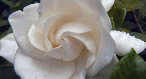Gardenia - Sclerosi Multipla - AISM
