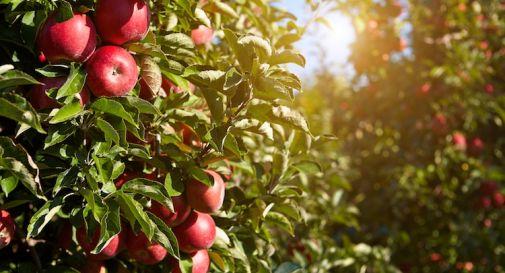 Caldo e cimici estate da incubo per la frutta della marca for Cimici rosse