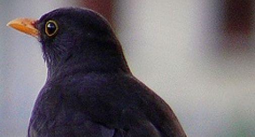 Il merlo Matri vincente alla tradizionale Fiera degli Uccelli