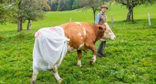Vietato defecare in salita: alle mucche, il pannolone
