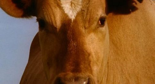 Gaiarine, abbattuta la mucca in fuga da martedì