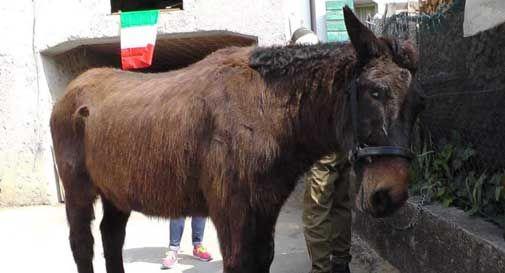 Al raduno di Vittorio Veneto ci sarà anche Iroso, l'ultimo mulo alpino
