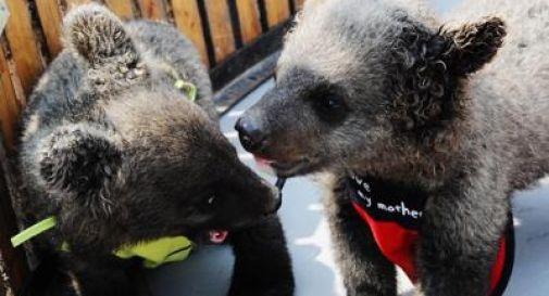 Dopo due anni scopre che i suoi due grossi cani erano orsi
