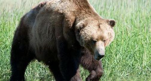 Asolo, trovata l'impronta di un orso