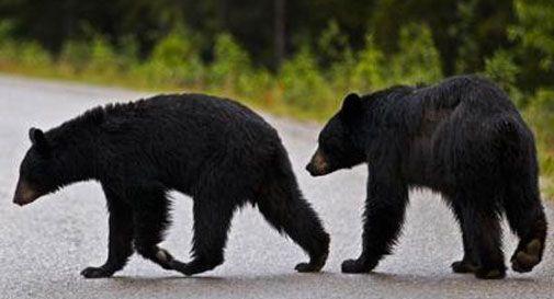 Torna la caccia all'orso nero in Florida. Ieri uccisi oltre 200 esemplari