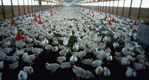 Allevamento di polli? Sant'Andrea si preoccupa