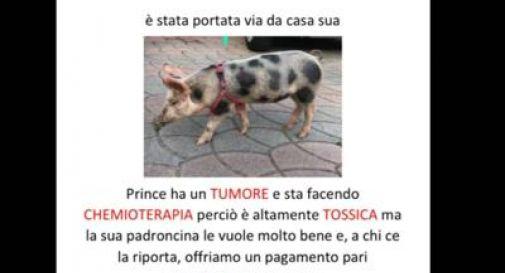 Rubata una maialina con il tumore,