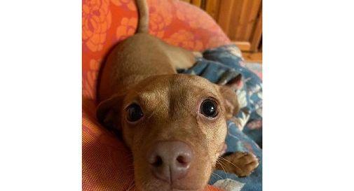 Paura a Motta: pinscher sbranata da due grossi cani