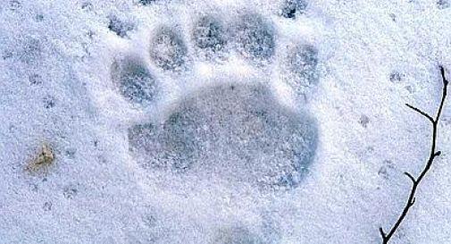 Svegliato dai botti di Capodanno orso vaga per pista da sci a Santo Stefano di Cadore