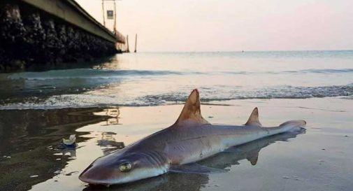 Trovati due squali palombo spiaggiati a Jesolo