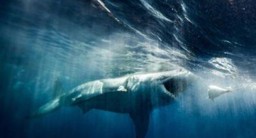 Sub ucciso da uno squalo, l'uomo si era appena tuffato in acqua